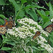 Monarch Butterfly 47 Art Print