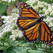 Monarch Butterfly 52 Art Print