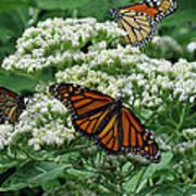 Monarch Butterfly 54 Art Print