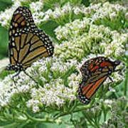 Monarch Butterfly 56 Art Print