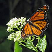 Monarch Butterfly 59 Art Print
