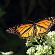 Monarch Butterfly 61 Art Print