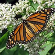 Monarch Butterfly 62 Art Print