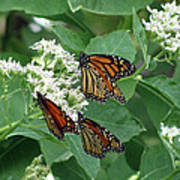 Monarch Butterfly 63 Art Print