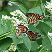 Monarch Butterfly 65 Art Print