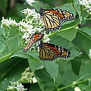 Monarch Butterfly 66 Art Print