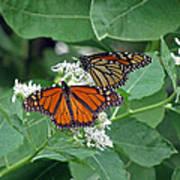 Monarch Butterfly 69 Art Print