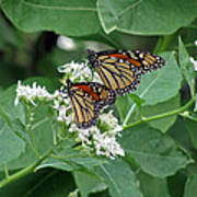 Monarch Butterfly 70 Art Print