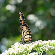 Monarch Butterfly 72 Art Print