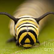 Monarch Butterfly Caterpillar I Art Print