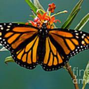 Monarch Butterfly Danaus Plexippus Art Print