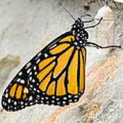 Monarch Butterfly Just Emerged From Her Chrysalis Art Print