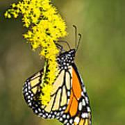 Monarch Butterfly On Goldenrod Art Print
