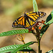 Monarch Butterfly On Plant With Eggs Art Print