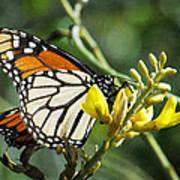 Monarch Feeding Art Print