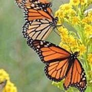 Monarch Gathering Art Print by Laurence Van Oliver