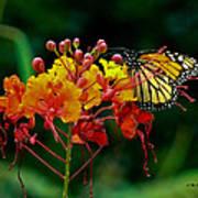Monarch On Pride Of Barbados Art Print