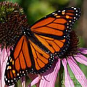 Monarch On Purple Coneflower Art Print