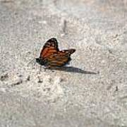 Monarch On The Beach Art Print