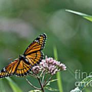 Monarch Perch Art Print