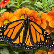 Monarch Resting Art Print