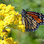 Monarch Resting Art Print