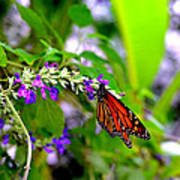 Monarch With Sweet Nectar Art Print
