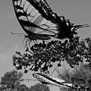 Swallotail In Black And White Art Print