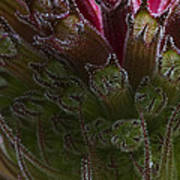 Monarda Art Print