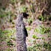 Mongoose Standing. Safari In Serengeti Art Print