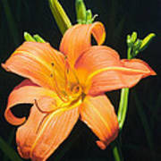 Monikas Orange Lily Art Print
