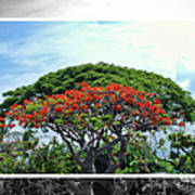 Monkey Pod Trees - Kona Hawaii Art Print