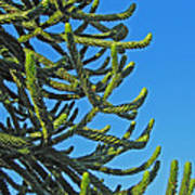 Monkey Puzzle Tree Art Print