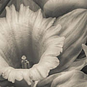 Mono Daffodil Art Print
