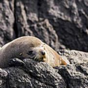 Montague Island Seal Art Print