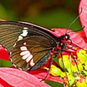 Montezuma Cattleheart Butterfly Art Print
