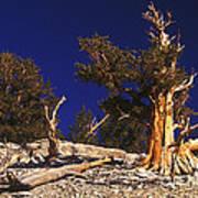 Moon And Bristlecone Pines Art Print