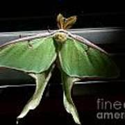 Moon Moth Art Print