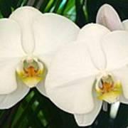 Moon Orchid Pair Art Print