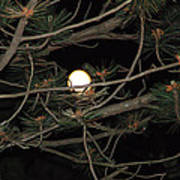 Moon Through Pines Art Print