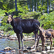 Moose And Baby 4 Art Print