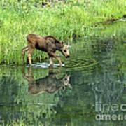 Moose Calf Testing The Water Art Print