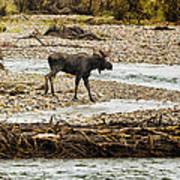 Moose Crossing River No. 1 - Grand Tetons Art Print
