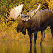 Moose In Glacial Kettle Pond  Art Print