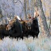 Moose Meeting Art Print