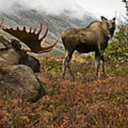 Moose Pair On Anchorage Hillside Art Print