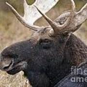 Moose Pictures 101 Art Print