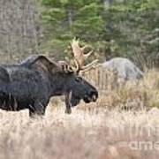 Moose Pictures 75 Art Print