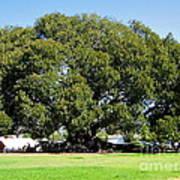 Moreton Fig Tree In Santa Barbara Art Print