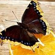 Morning Cloak Butterfly Art Print by Carol Toepke